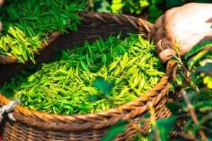 Tea Leaf China Green Tea Leaves  - DukeAsh / Pixabay